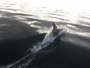 Dolphins in Runswick