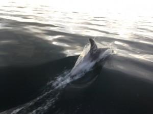 Dolphins in Runswick